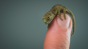 Three of the baby chameleons have been born at Chester Zoo