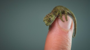 Rare mini-chameleons born at Chester Zoo