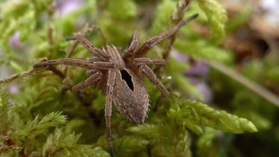 The rare Diamond Spider, found by Lucy Stockton in Clumber Park