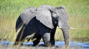 An African elephant.