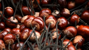 Conkers ready for battle.