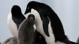 Only two penguin chicks survive in Antarctic colony of 36,000