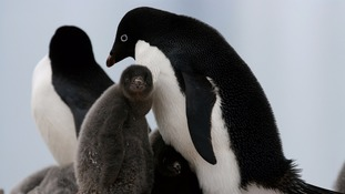 An Adélie penguin chick.