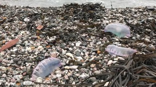 Warning after potential sightings of deadly Portuguese man o' war on South West beaches