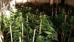 cannabis farm plants