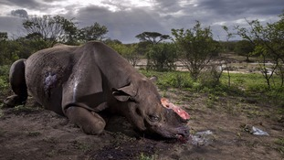 Photo of black rhino with horns hacked off wins Wildlife Photographer of Year award