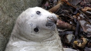75% of seal pups killed after Ophelia batters Ramsey Island