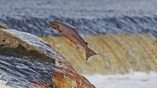 A salmon on the River Tyne - this could become a common sight in another river.