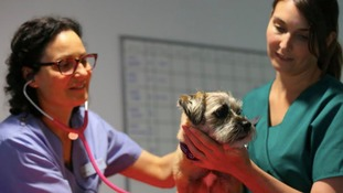 A dog being treated at Scarsdale Vets