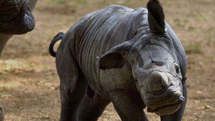 Rhino births in captivity are considered extremely rare.