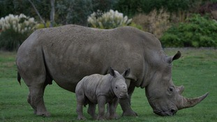 The biggest threat to rhinos is poaching.