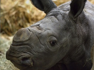 Visitors can see the new calf daily in the park's large rhino paddock.