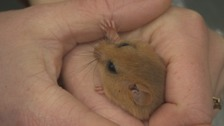 Dormice are re-introduced to North Yorkshire