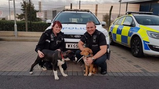 Police managed to find and return the collies to their owners.