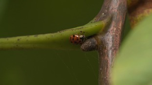 Dramatic decline in number of our native little ladybirds
