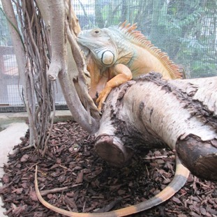 George the Iguana has died