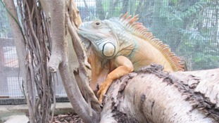 George the Hull park iguana passes away
