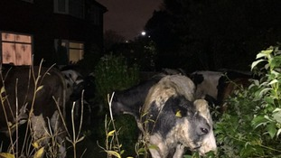 WATCH: Fifty cows escape from a farm in Sale and run riot