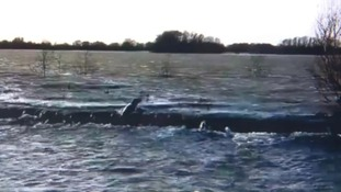 Seal caught on camera swims 50 miles inland through flood waters