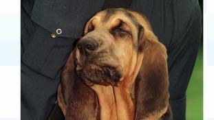 Police bloodhound Agatha