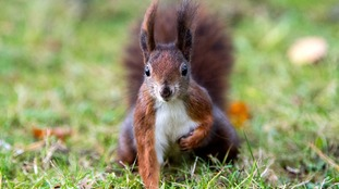 Isle of Man willing to become red squirrel reserve if asked