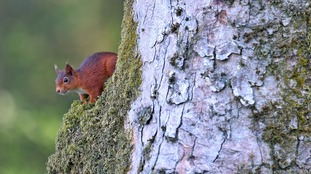 redsquirreltree