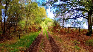Beautiful golden leaves leading up the path on Roydon Common near King's Lynn in Norfolk.