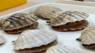Isle of Man Gov reminds fishermen of need to have  fishing licence during king scallop season