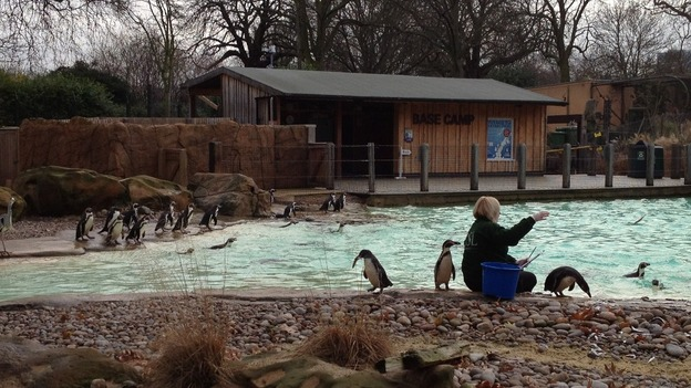Penguin feeding at London Zoo, as it does its annual stocktake of all its animals.