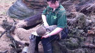 London Zoo worker counts meerkats.
