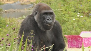 Bristol Zoo says one of its most popular gorillas has died