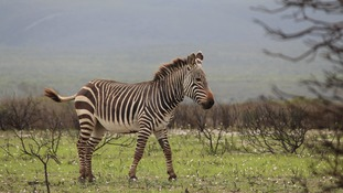 Zebra 'poo science' improves conservation efforts according to scientists