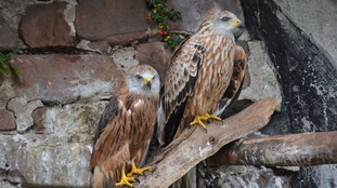Two red kites in a sanctuary