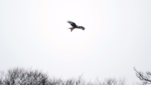 A red kite in flight