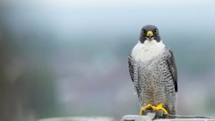 Around 500 illegal attacks on birds of prey have been reported between 2012-16