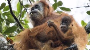 Tapanuli orangutans