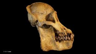 Tapanuli orangutan skull