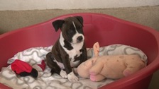 The Staffordshire Bull Terrier puppies are now six weeks old.