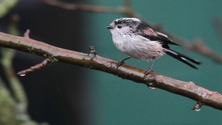 Long-tailed Tit in damp Kimberley.