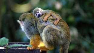 Baby squirrel monkey arrives on bonfire weekend