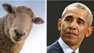 Sheep can recognise Baa-rack Obama's face