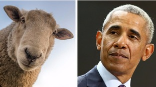 Would ewe believe it? Sheep can recognise celebrity faces