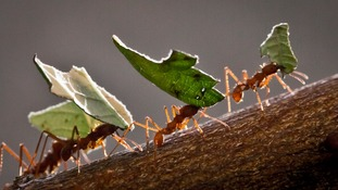 ANT-ibiotics: The research using insects to help battle superbugs