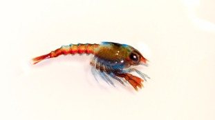 A baby lobster.