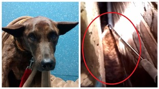 Taba the dog, spooked by fireworks, flees home and gets stuck between two walls