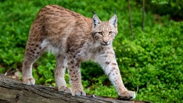 Criticism after escaped lynx is shot