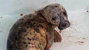 Celine the seal pup
