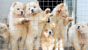 'Record number' of illegal puppies seized ahead of Christmas rush, charity warns