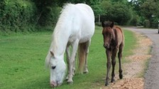 Drivers warned not to feed New Forest ponies