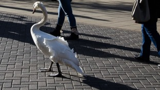 A swan was spotted casually walking down a high street.